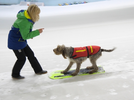 Woody, an eight-year-old Italian Spinone, has been taught to snowboard at Chill Factore