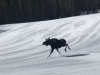 Moose on the loose in Breckenridge