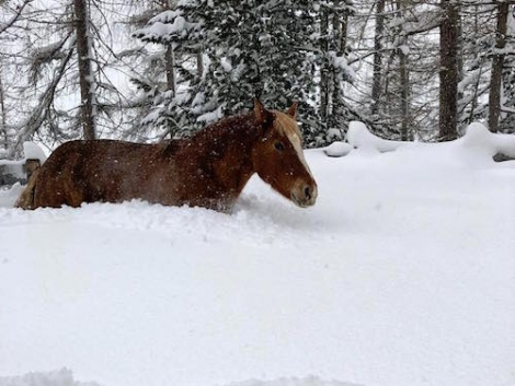 A horse wading in snow last weekend gives an idea of the snow levels in Obergurgl